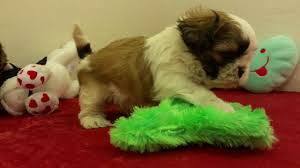 bichon frise breeders texas shih tzu puppies for sale in texas youtube