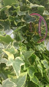 hedera helix ivy leaves the small leaved english ivy plant can