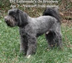 hair cuts for the tebelan terrier tibetan terriers