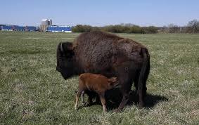 Fermilab Help Desk Baby Bison Born At Fermilab
