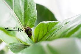 Fiddle Leaf Fig Tree Care by Pruning Your Fiddle Leaf Fig