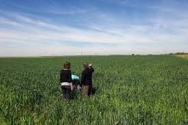 irrigated corn french corn farmers turn to drip irrigation