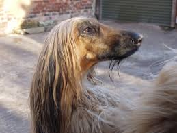 afghan hound poodle cross why do sighthounds have such small heads
