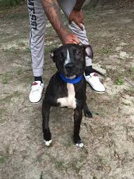 american pitbull terrier 10 months eli patrick male 10months old in hoobly classifieds