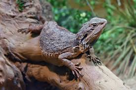 eastern bearded dragon wikipedia