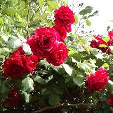 Fragrant Potted Plants Blaze Improved Rose Plant Fragrant Climbing Red Rose Bush