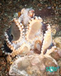 the amazing octopus scuba diving blog