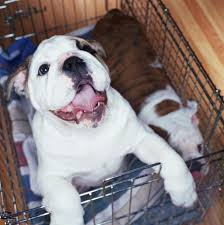 crate training how to crate train your dog or puppy