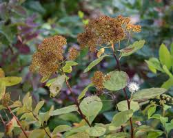 pnw native plants pacific northwest native plant profile white spiraea spiraea