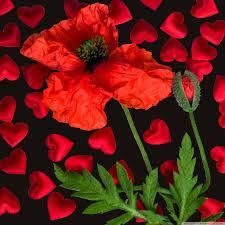 love poppy flower uhd desktop wallpaper for ultra hd 4k 8k