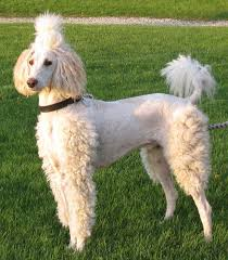 haircutsfordogs poodlemix 274 best dog groom styles ideas images on pinterest puppies