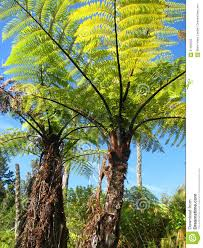 new zealand native plants and trees pair of giant ferns new zealand stock photo image 61482503