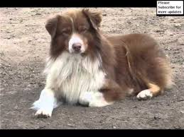 images of australian shepherd australian shepherd red tri blue eyes collection of pictures