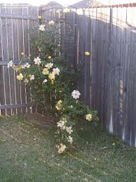 plantfiles pictures large flowered climbing rose u0027golden showers