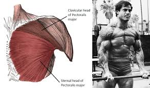 Muscles Used When Bench Pressing Build A Superior Chest Juicedmuscle Com