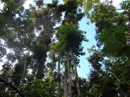 native rainforest plants native plants lake barrine nursery
