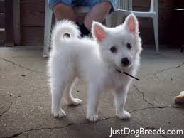american eskimo dog yahoo american eskimo puppy so cute x3 animals pinterest