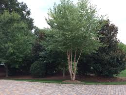 28 best trees for privacy how to plant privacy trees pretty