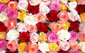 colored roses meanings of different colored roses gazette
