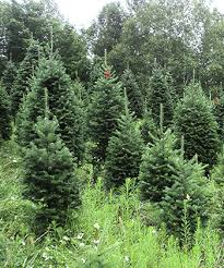 wholesale christmas tree prices extra tall trees for tall ceilings