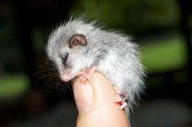 Backyard Buddies Thumbs Up For Backyard Buddies And The Cutest Opossum Of All Time
