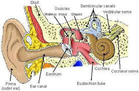 Ear Anatomy Pictures Human Ear Diagram With Label Coordstudenti