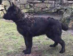 belgian shepherd nova scotia police k 9 u0027s sales upstate k 9