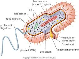 Cell Membrane Worksheet Copy Of Prokaryotic And Eukaryotic Cells By Skilar Martin On Prezi