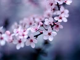 cherry blossom flower wallpaper 1600x1200 78159