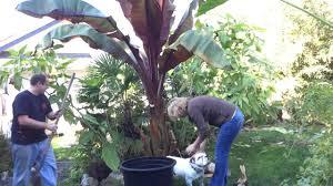 fall gardening pt 2 3 moving giant red banana u0026 taros disaster