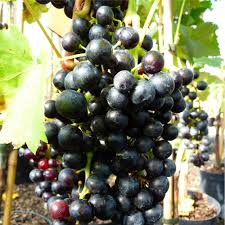 grape vine regent blue grapes outdoor grape vines for sale