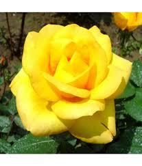 Flower Seeds Online - 100 flower seeds online buy petunia balcony mix hybrid