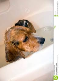 beagle in the bathtub stock photo image of 5676752