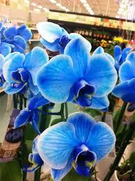 blue orchid flower blue orchids em or ubloom