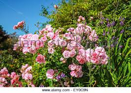 Fragrant Climbing Plant - in the garden beautiful bush climbing roses with pink flower buds