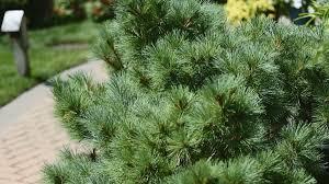 Bushes For Landscaping Top Landscape Shrubs