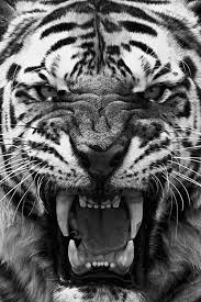 32 best black and white tigers images on white tigers