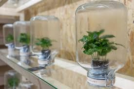 indoor plants fabulous fiddleleaf fig tree ficus lyrata this