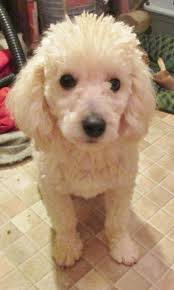 the 1765 best images about poodle mommy on pinterest french