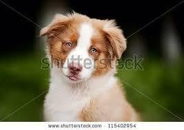 australian shepherd funny australian shepherd puppy stock images royalty free images