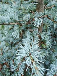 danger garden i u0027m dreaming of a blue atlas cedar christmas u2026