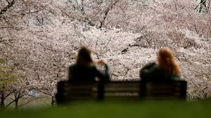 cherry blossoms are just one more sign our planet is out of whack