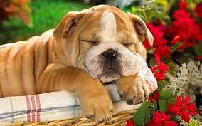 cute sleeping dogs wallpaper