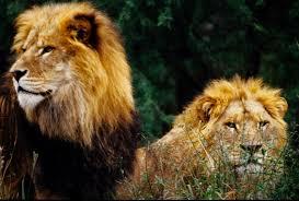 imagenes de leones salvajes gratis las mejores fotos de leones nunca antes vistas imágenes taringa