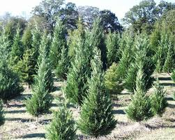 leyland cypress growing at mainstay farm yelp