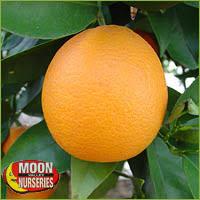 Online Fruit Trees For Sale - citrus u0026 fruit trees for sale buy citrus and fruit trees online