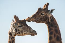 giraffe webcam u2013 watch the giraffes live on our web cam