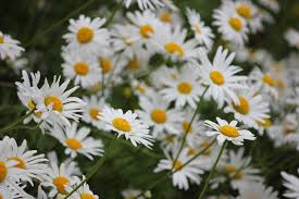 bunch of daisies free stock photo public domain pictures