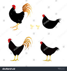 black rooster hen isolated on stock illustration 532544092
