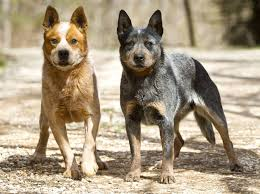 3 4 australian shepherd 1 4 blue heeler australian cattle dog or blue heeler bladeforums com